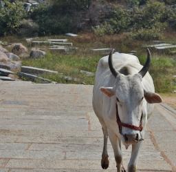 Charging on me in front of Purandara Mandapa