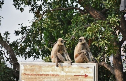 Two Hanuman Langurs observing