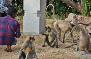 Local boys giving food and playing with monkeys