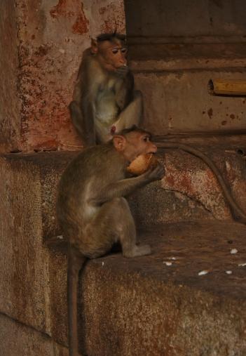 Monkeys feeding on coconut shelves