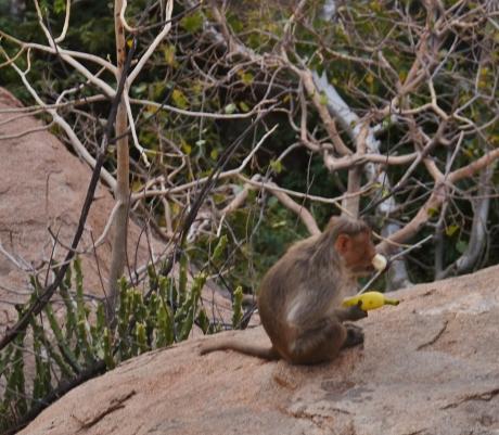 Monkey and his Breakfast Banana