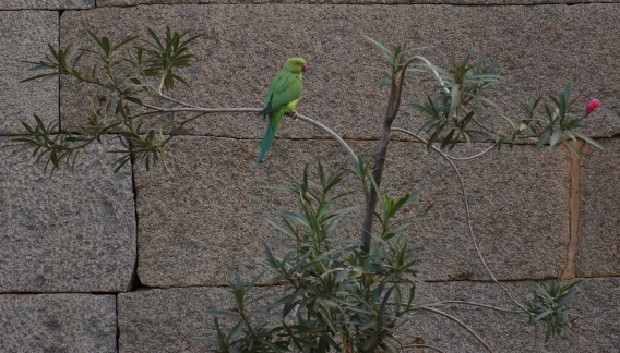 A Parakeet found on the small garden inside Raghunathaswamy temple complex.
