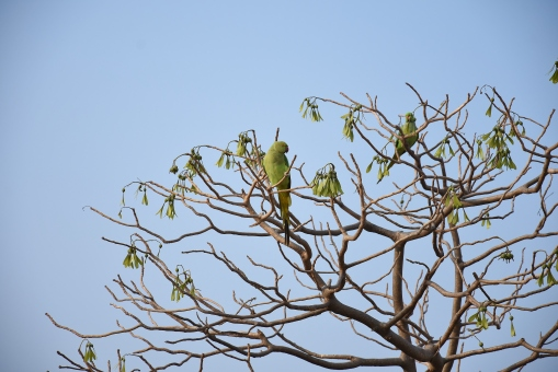 Two Parakeets found on the west side of Raghunathaswamy temple.