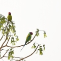 Plum headed Parakeet – Malyavantha Hill,Found while descending