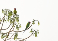 Plum headed Parakeet - Malyavantha Hill,Found while descending