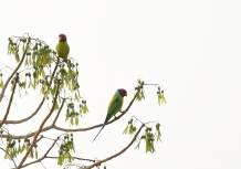 Plum headed Parakeet - Malyavantha Hill,Found while descending