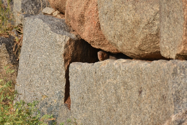 Mongoose spotted on a crevice
