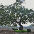 A Neem tree inside Zanana enclosure near Lotus Mahal