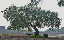 A Neem tree inside Zanana enclosure near Lotus Mahal