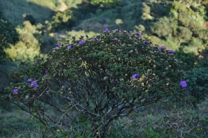 Blooming shrubs of Agasthya hill valleys