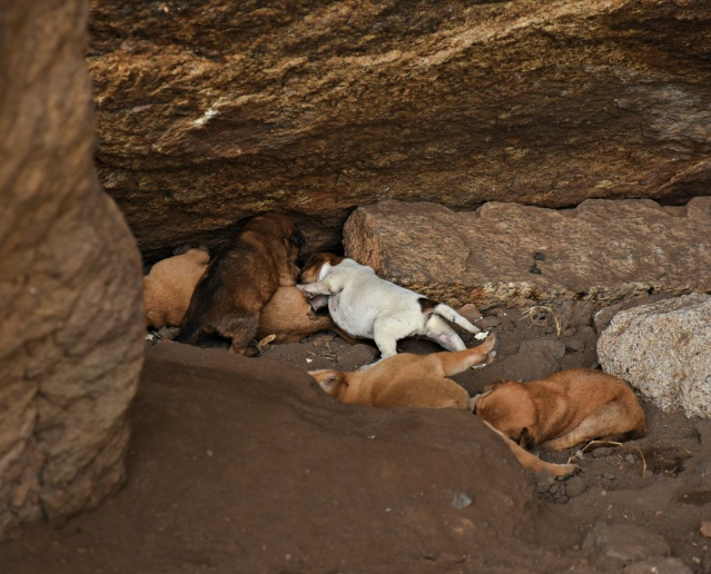 DSC_9445 - A group puppies playing near Kotikal cave temple.